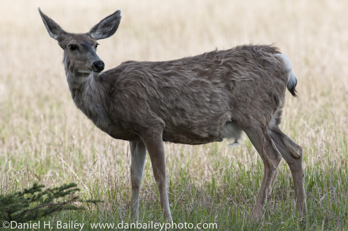 Mule Deer at the Yukon Wildlife Preserve, Whitehorse, Canada