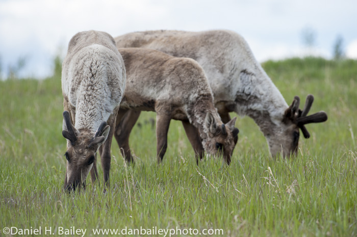 Caribou at the Yukon Wildlife Preserve, Whitehorse, Canada