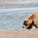 My One Day Alaska Brown Bear Photo Workshops