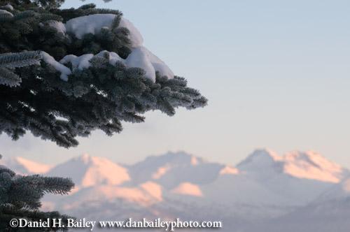 Pine tree and the Chugach Mountains, Anchorage, Alaska