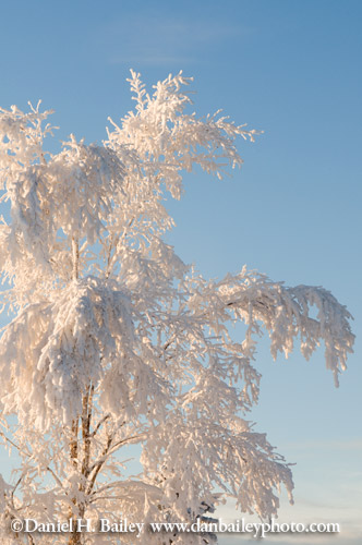 Tree covered in rhyme ice, Anchorage, Alaska