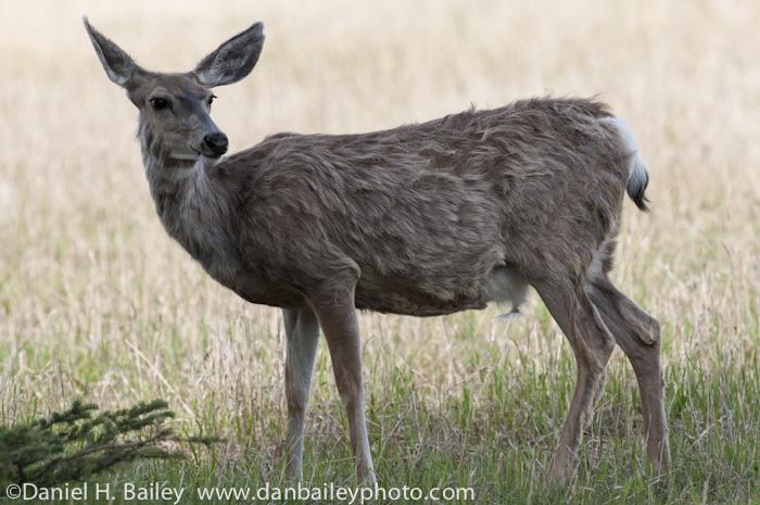 Mule Deer at the Yukon Wildlife Preserve, Whitehorse, Canada