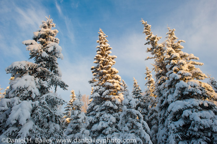 Snow on pine trees, winter landscapes, Alaska