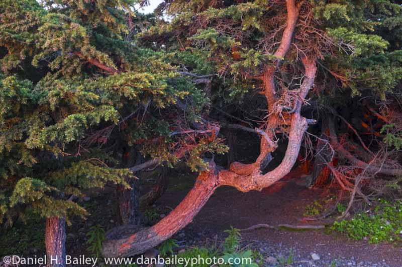Gnarled pine trees at sunset