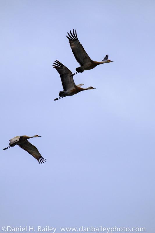 Sandhill cranes flying over the Susitna Mud Flats, Alaska