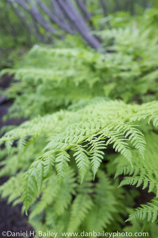 Ferns on the South Pioneer Peak Ridge Trail, Chugach Mountains, Alaska