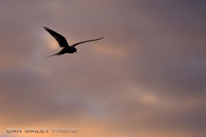 Arctic Tern flying above Potter Marsh